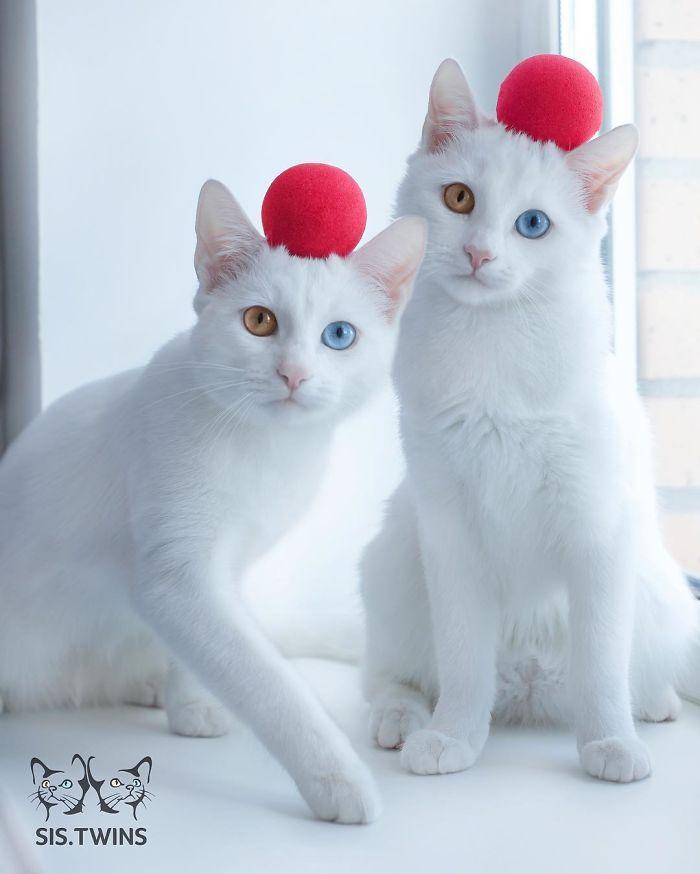 gatos blancos ojos dos colores (8)