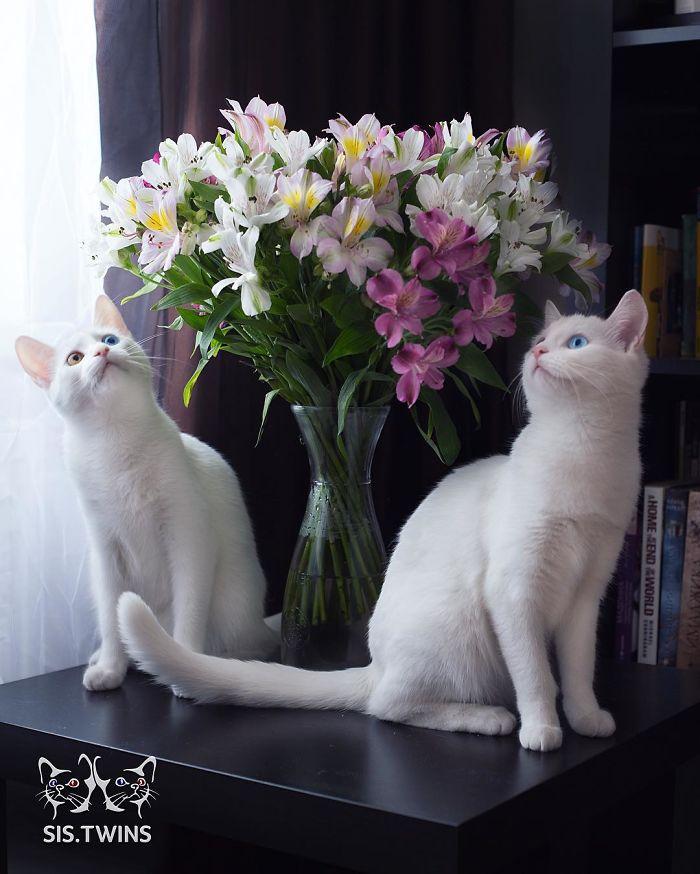 gatos blancos ojos dos colores (9)
