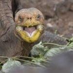 Casanova de las Galápagos: tortuga salva la especie teniendo 800 hijos