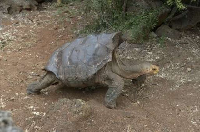diego-tortuga-galapagos-2