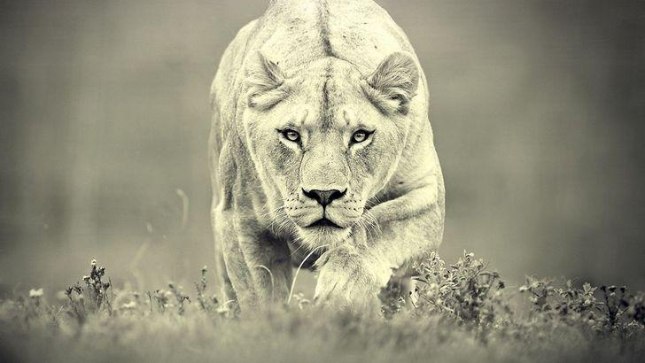 leona-cazando-2