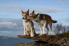 Lundehund, el auténtico perro maravilla