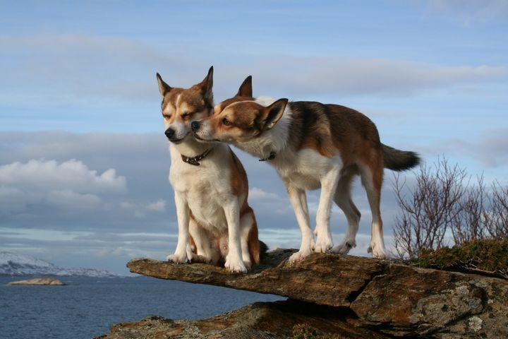 lundehund-noruego-perros