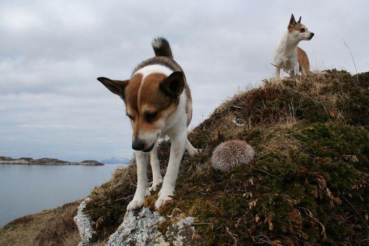 lundehund-sobre-un-risco