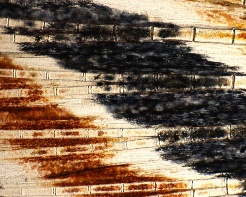 foto-microscopica-aleta-pez-cebra-838x670