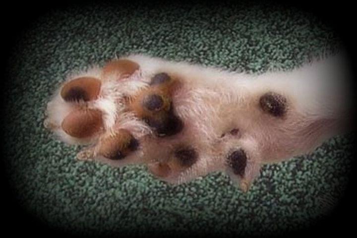 lundehund-pata