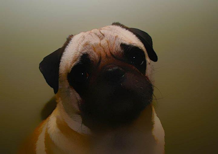 perro-pug
