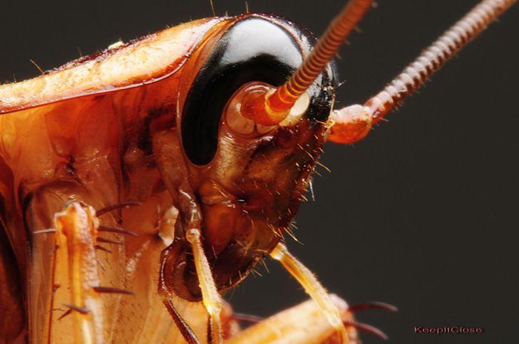cucaracha-zoom