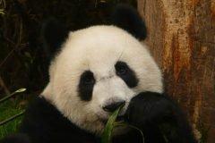 ¿Sabías qué existe el trabajo de abrazador de pandas?