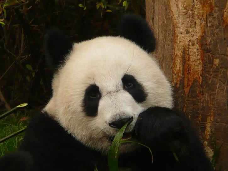 oso-panda-comiendo