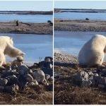 Oso polar acaricia a un perro de trineo + VIDEOS