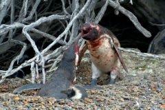 Pingüino macho regresa al nido y encuentra a la hembra con su amante