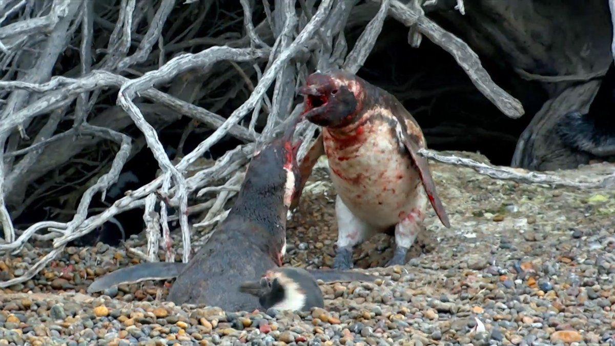 pelea-pinguinos
