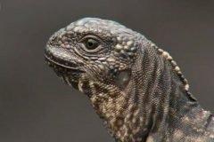Iguana vs serpientes, el momento más épico de la TV