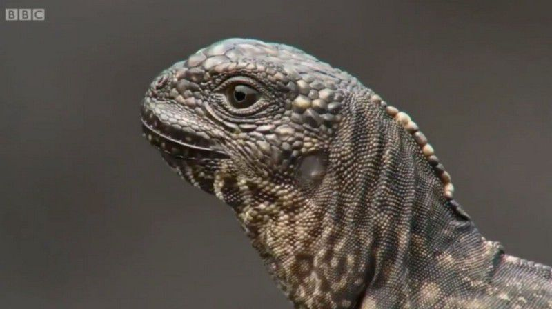 persecucion-iguanas-vs-serpientes