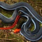 El veneno de esta serpiente podría servir para hacer analgésicos