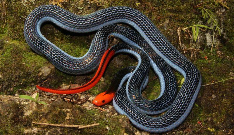serpiente-coral-azul-malaya