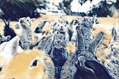 Okunoshima: una isla en Japón donde mandan los conejos
