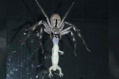 Mujer filma araña gigante devorando lagartija en Australia