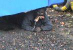Hombre gato de greenock (2)