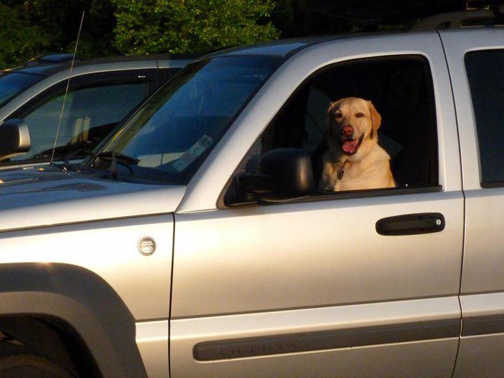 Perro manejando auto