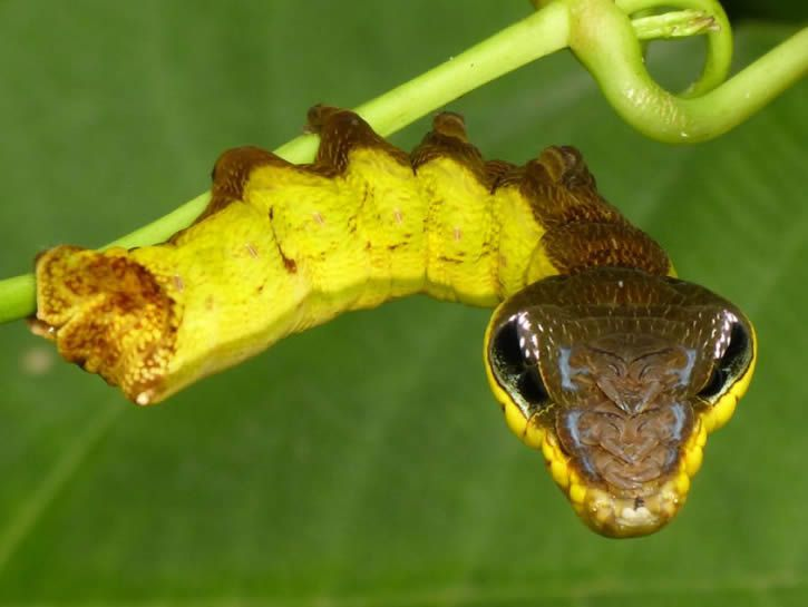 Hemeroplanes triptolemus camuflaje animal (4)