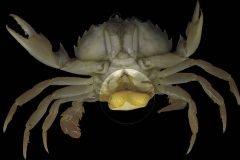 Sacculina carcini fotografia cangrejo parasito