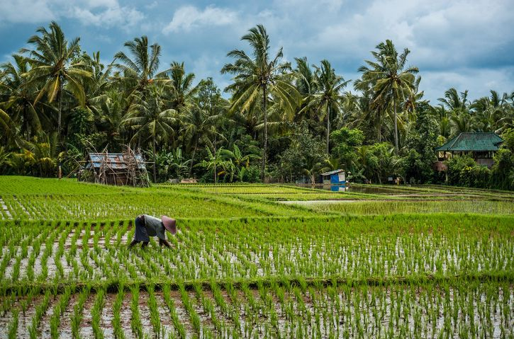 campos de cultivo de arroz