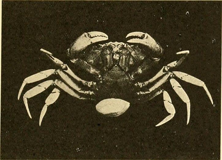 cangrejo parasitado por rizocefalo