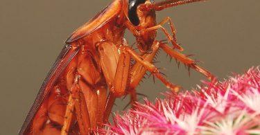 cucaracha Periplaneta americana