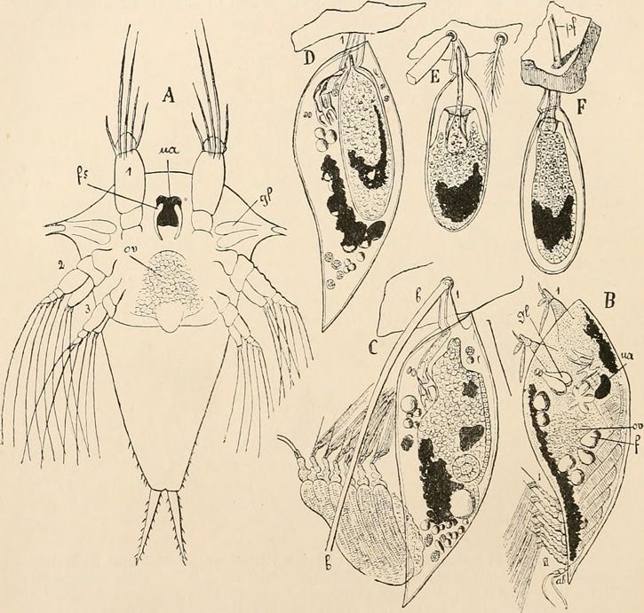 desarrollo parasito Sacculina