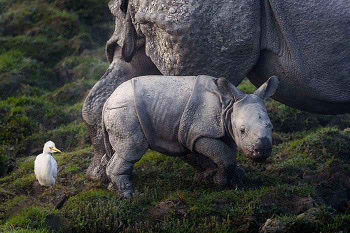 parque nacional Kaziranga rinocerontes (2)
