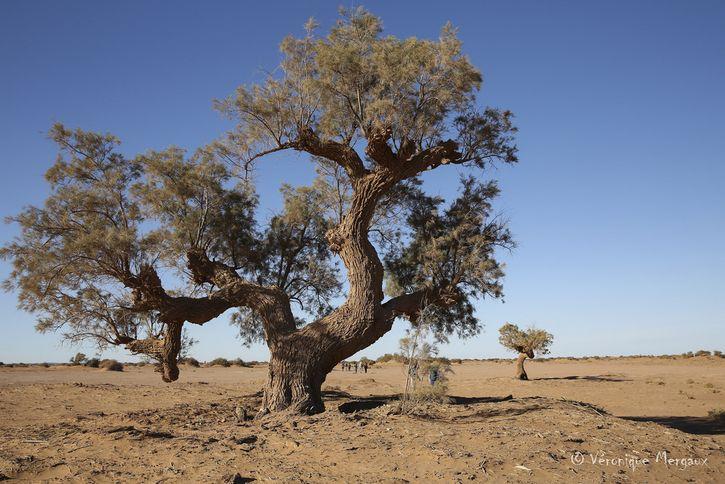 arbol en el sahara