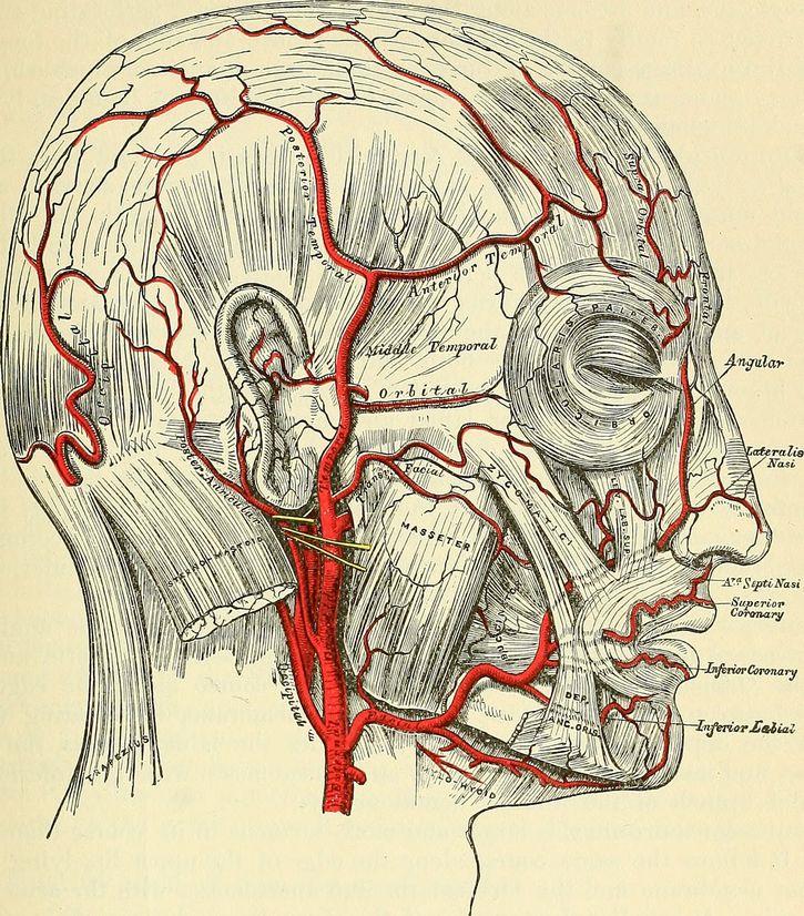 musculo cigomatico cabeza con etiquetas