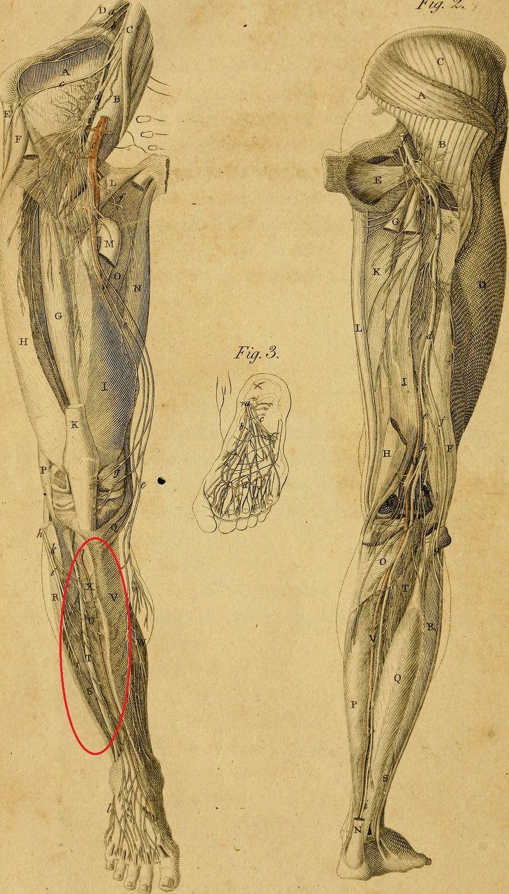 musculos de una pierna ilustración