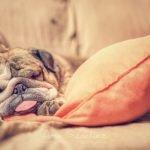 bullgod dormido sobre la cama