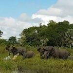 Cocodrilo intenta arrastrar elefante por la trompa