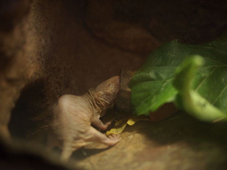madriguera rata topo lampiña