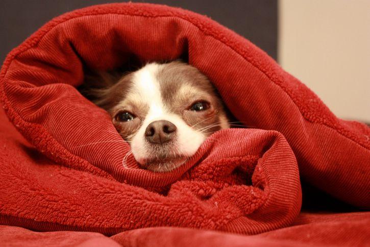 perro envuelto en la cama