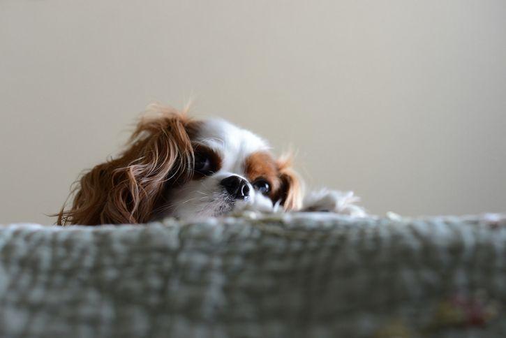 perro sobre la cama observando