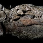 """""""Momia"""" de dinosaurio es descubierta con piel e intestinos intactos"""