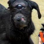 Cabra con un solo ojo se vuelve sensación en India