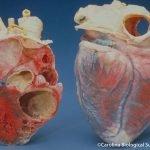 ¿Cuáles son los límites de latidos en un corazón humano?