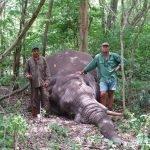 Experto cazador africano muere aplastado por un elefante