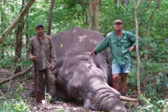 elefante muerto caceria