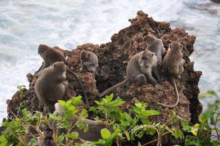 macacos en bali