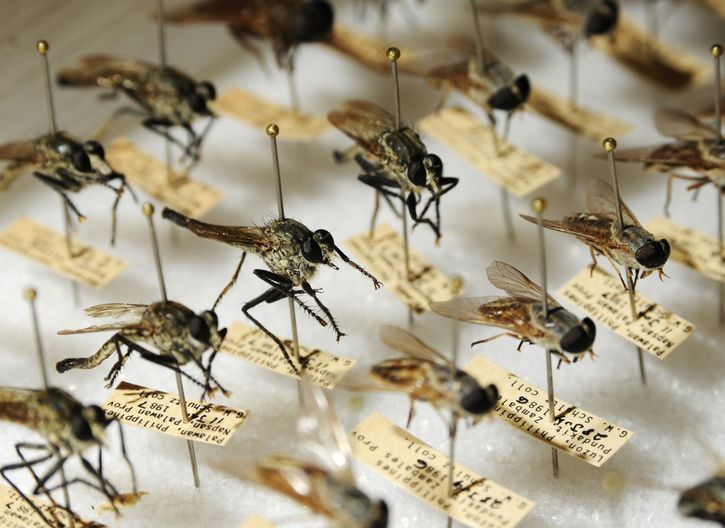 mosquitos insectario