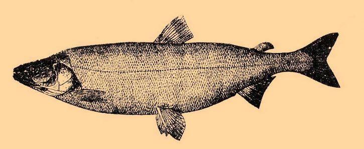 Stenodus leucichthys