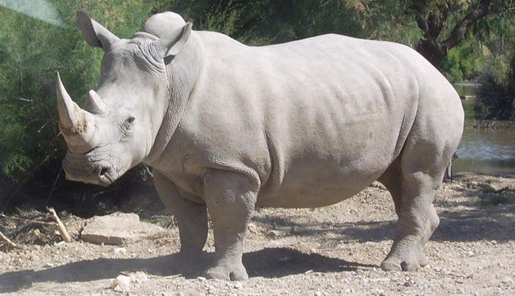 rinoceronte blanco nola
