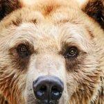 oso pardo frente a frente